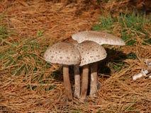 Famiglia del fungo sotto l'albero Fotografie Stock