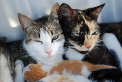 Famiglia del gatto felice Fotografia Stock Libera da Diritti