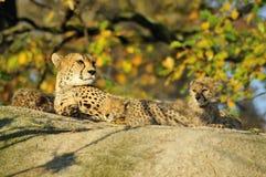 Famiglia del ghepardo immagini stock libere da diritti