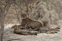 Famiglia del ghepardo fotografia stock libera da diritti