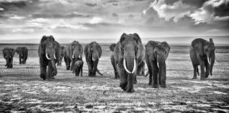 Famiglia del gruppo di camminata degli elefanti sulla savana africana al fotografo Fotografie Stock Libere da Diritti