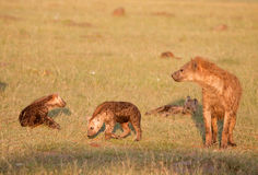 Famiglia del Hyena macchiato Immagini Stock Libere da Diritti