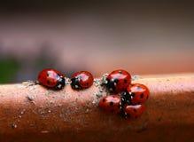 Famiglia del Ladybug Fotografia Stock