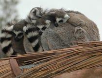 Famiglia del lemur munita anello Fotografia Stock Libera da Diritti