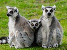 Famiglia del lemur Ring-tailed Fotografia Stock Libera da Diritti