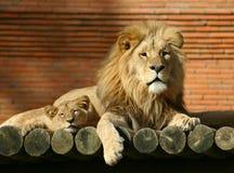 Famiglia del leone Fotografie Stock Libere da Diritti