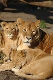 Famiglia del leone Fotografia Stock Libera da Diritti