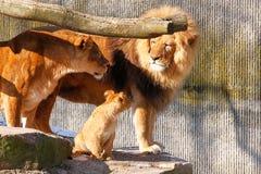Famiglia del leone Immagini Stock