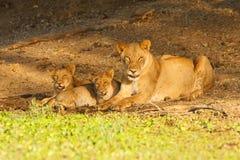 Famiglia del leone che si trova nell'erba Fotografia Stock