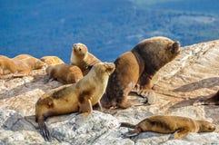 Famiglia del leone marino, Manica del cane da lepre, Ushuaia, Argentina Immagini Stock Libere da Diritti