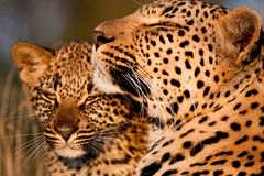 Famiglia del leopardo Immagine Stock