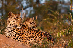 Famiglia del leopardo Fotografia Stock