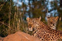 Famiglia del leopardo Fotografia Stock Libera da Diritti