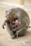 Famiglia del Macaca della scimmia in città indiana Immagine Stock