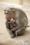 Famiglia del Macaca della scimmia in città indiana Immagini Stock Libere da Diritti