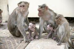Famiglia del Macaca della scimmia in città indiana Fotografie Stock Libere da Diritti