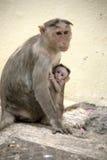 Famiglia del Macaca della scimmia in città indiana Fotografie Stock