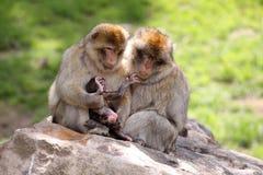 Famiglia del Macaque Immagine Stock