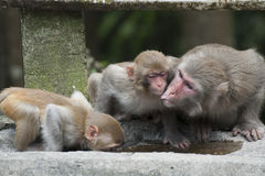 Famiglia del Macaque Fotografia Stock Libera da Diritti