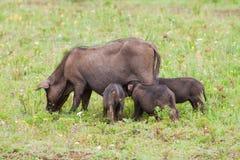 Famiglia del maiale sul campo Fotografia Stock Libera da Diritti