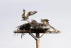 Famiglia del Osprey Immagini Stock