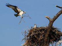 Famiglia del Osprey che costruisce il nido. Immagine Stock