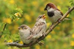 Famiglia del passero Fotografia Stock Libera da Diritti