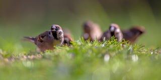 Famiglia del passero di albero Fotografia Stock