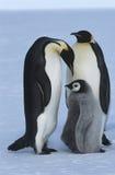Famiglia del pinguino di imperatore della baia di Atka del mare dell'Antartide Weddel Immagine Stock