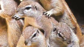 Famiglia del primo piano bianco dello scoiattolo stock footage