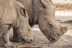 Famiglia del rinoceronte Immagini Stock Libere da Diritti
