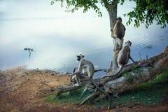 Famiglia del ` s della scimmia nel parco nazionale di Yala immagini stock libere da diritti