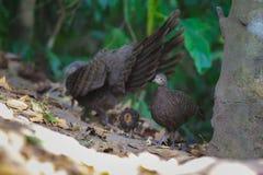 Famiglia del ` s di Grey Peacock Pheasant Immagine Stock