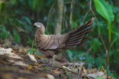 Famiglia del ` s di Grey Peacock Pheasant Immagine Stock Libera da Diritti