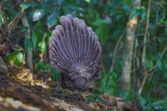 Famiglia del ` s di Grey Peacock Pheasant Fotografia Stock Libera da Diritti