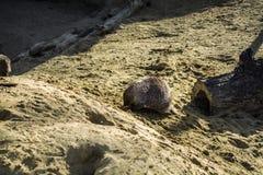 Famiglia del surikat che cammina e che scava sulla collina dalla sabbia Il sole luminoso splende e le piante verdi si sviluppano  fotografia stock