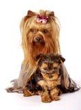 Famiglia del Terrier di Yorkshire Immagini Stock Libere da Diritti