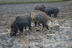 Famiglia, famiglia del verro sulla terra d'alimentazione Fotografia Stock Libera da Diritti