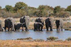 Famiglia dell'acqua potabile degli elefanti in un waterhole Parco nazionale di Etosha in Namibia Fotografie Stock