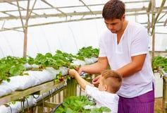 Famiglia dell'agricoltore che raccoglie le fragole in serra Immagine Stock