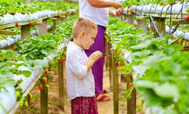 Famiglia dell'agricoltore che raccoglie le fragole in serra Immagini Stock Libere da Diritti
