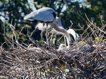 Famiglia dell'airone di grande blu in nido Immagini Stock