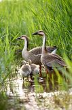 Famiglia dell'anatra Fotografia Stock Libera da Diritti