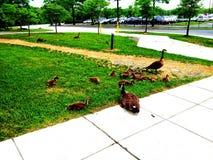 Famiglia dell'anatra fuori della metropolitana Fotografie Stock