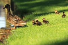 Famiglia dell'anatra selvatica Immagini Stock Libere da Diritti