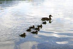 Famiglia dell'anatra - siluette Fotografie Stock