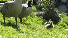 Famiglia dell'anatra sul prato verde stock footage