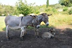 Famiglia dell'asino Fotografia Stock Libera da Diritti