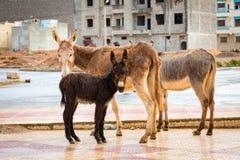 Famiglia dell'asino nella pioggia Sidi Ifni, Marocco Immagini Stock