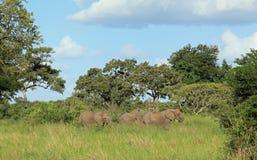Famiglia dell'elefante Immagine Stock